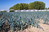 A field of leeks