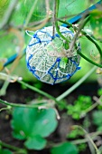 A melon wrapped in a net on the plant