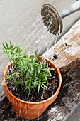 Rosemary in a flower pot being watered