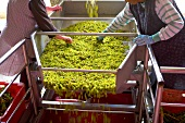 Harvest workers sorting grapes