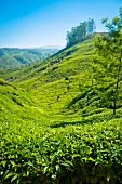 A tea plantation in Munnar, Kerala, India