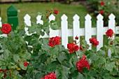Blühende Rosen vor Gartenzaun