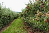 A Grass Isle in an Apple Orchard with apple Trees Full of Ripe Apples