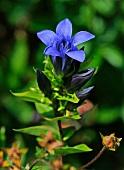Flowering gentian