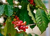 Kaffeestrauch (Ausschnitt)