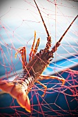 Lobster caught in fishing net