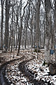 Maple Tree Grove with Trees Tapped for Collecting Sap to Make Maple Syrup