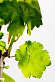 Weinstock im Frühling mit grünem Laub