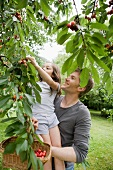 A father and daughter picking cherries