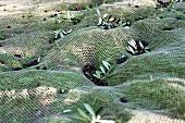 Olives being harvested