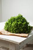 Spicy globe basil (Ocimum basilicum minimum)