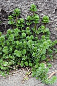 Upright bedstraw (galium mollugo) growing from a crack in a wall
