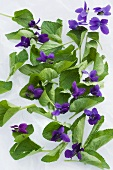 Violet leaves and flowers