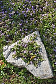 Flowering ground ivy collected on a stone