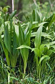 Ramsons and autumn crocus, confusion can be deadly