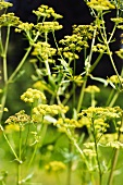 Flowering fennel with lots of umbels