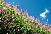 Schmalblättriges Weidenröschen in Blüte, Feld gegen Himmel