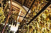 Trebbiano and Malvasia Trauben hanging to dry (for making vin santo)