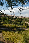 A view of Montepulciano wine town with olives and vines