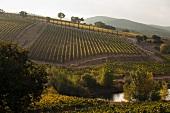Brancaia winery in Maremma (wine landscape, Tuscany)