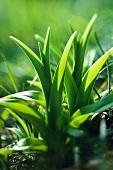 A shooting daylily plant (hemerocallis fulva)
