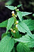 Yellow archangel, one single plant in flower