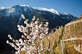 Spring in the vineyards (Switzerland)