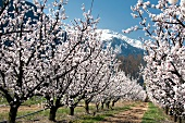 Two rows of apricots trees in full bloom, Charrat near Martigny (Switzerland)