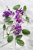 Flowering annual honesty (Lunaria Annua)