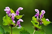 Flowering spotted deadnettle (lamium maculatum)