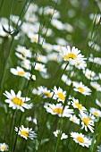 Leucanthemum vulgare, oxeye daisies in a field
