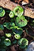 Lesser celandine (Ranunculus ficaria)