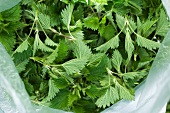 Stinging nettle leaves (Urtica Dioica)