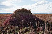 Quinoa-Ähren trocknen auf einem Feld in den Anden (Peru)