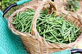 A basket of freshly harvested green beans