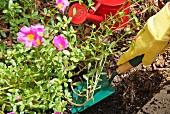 Blumen im Garten einsetzen