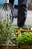 A man watering rosemary in a raised flower bed