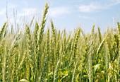 Weizenfeld vor blauem Himmel (Ausschnitt)