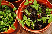 Remains of lettuce and basil plants in pots