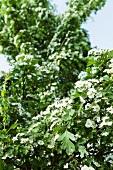 Hawthorn flowers, close-up