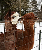 Alpacas at a Wire Fence
