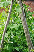 Runner beans and poles