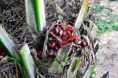 Ripe oil palm fruits