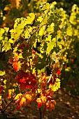 Autumn Grape Leaves in Laguardia Spain