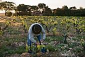 Weinbauer beim Ausbrechen von Jungtrieben, frühmorgens im Rebberg le Pic des Combettes