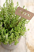 Flowering thyme in a pot