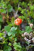 A cloudberry