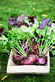 Freshly harvested organic beetroot