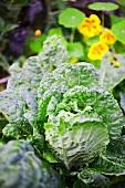 Bio Kohlgemüse und Kapuzinerkresse im Garten