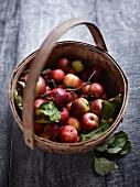 A basket of Sternrenette apples